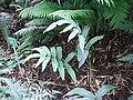 Cyrtomium juglandifolium aspect.jpg