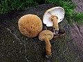 Cystoderma granosum (Morgan) A.H. Sm. & Singer 823231.jpg