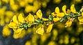 Cytisus scoparius in Tasman Region 01.jpg