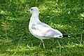 DSC09334 - Seagull (36825508600).jpg