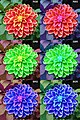 Dahlia RGB Permutations.jpg