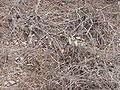 Danaus chrysippus 0001.jpg