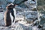 Danco Island Antarctica Gentoo Penguin 5 (47284468802).jpg
