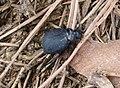 Darkling Beetle. Pimelia species. Tenebrionidae (32139725490).jpg