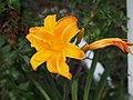 Daylilies Unknown - 9338701986.jpg