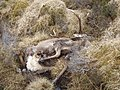 Dead stag - geograph.org.uk - 725600.jpg