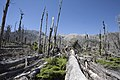 Dead trees near the Chaiten volcano.jpg