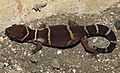 Deccan Banded Gecko Geckoella deccanensis by Dr. Raju Kasambe DSCN8911 (1).jpg