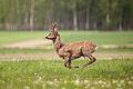 Deer jumping.jpg