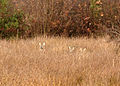 Deer near Meeth.jpg