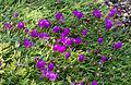 Delosperma sutherlandii - Jardin des Plantes.jpg