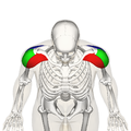 Deltoid muscle top2.png