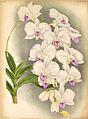 Dendrobium bigibbum3454.jpg