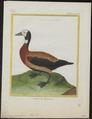Dendrocygna viduata - 1700-1880 - Print - Iconographia Zoologica - Special Collections University of Amsterdam - UBA01 IZ17600253.tif