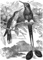 Descent of Man - Burt 1874 - Fig 49.png