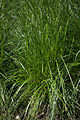 Deschampsia cespitosa 'Nortern Lights' 03.jpg