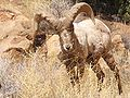 Desert Bighorn 4.jpg