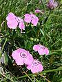 Dianthus alpinus sl6.jpg