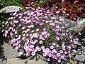 Dianthus gratianopolitanus ssp pulchellus 7.jpg