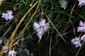 Dianthus plumarius subsp. neilreichii Ants.JPG