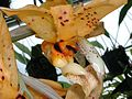 Dick Hartley DSCN1705 - Stanhopea ospinae.jpg
