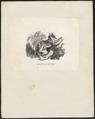 Didelphis opossum - 1700-1880 - Print - Iconographia Zoologica - Special Collections University of Amsterdam - UBA01 IZ20300074.tif