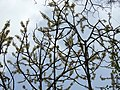 Dillenia pentagyna flowering by Dr. Raju Kasambe DSCN1362 (34).jpg