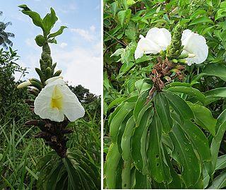 <i>Dimerocostus</i> genus of plants