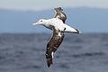 Diomedea exulans in flight 3 - SE Tasmania.jpg