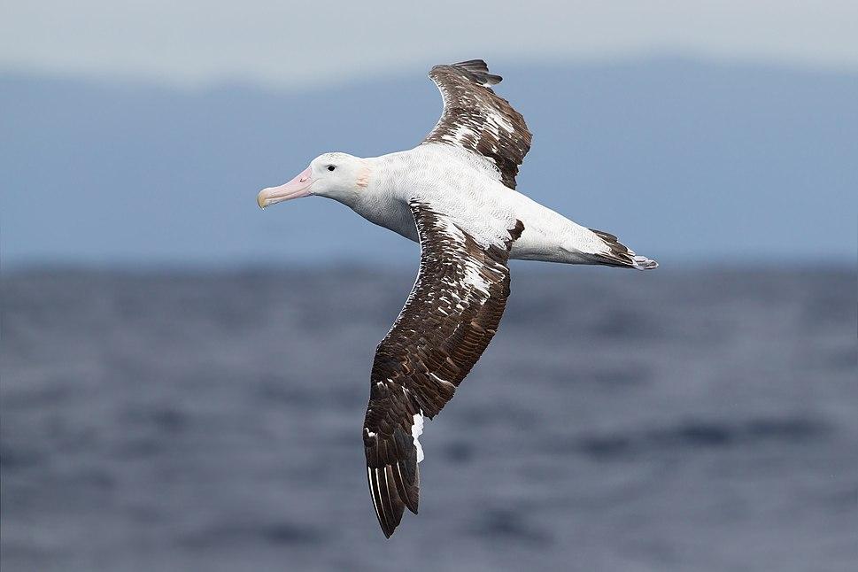 Diomedea exulans in flight 3 - SE Tasmania