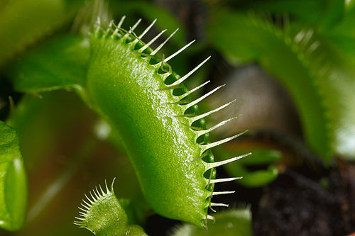 http://upload.wikimedia.org/wikipedia/commons/thumb/1/11/Dionaea_muscipula_closed_cilia.jpg/500px-Dionaea_muscipula_closed_cilia.jpg