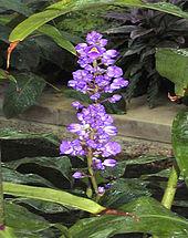 Dischorisandra thyrsiflora, originaria del Sudamerica, detta anche Zenzero blu