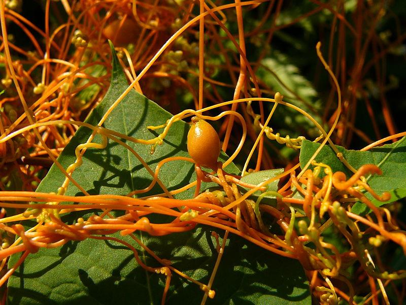 File:Dodder (Cuscuta) fruit.jpg