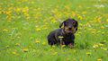 Dog walk (14216129013).jpg