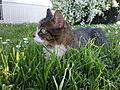 Domestic cat-.jpg