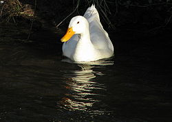 Domesticated Duck in Water (Xytram).jpg
