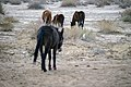 Donkeys of Iran 06.jpg