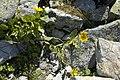 Doronicum grandiflorum.jpg