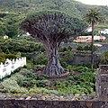 Dracaena Drago Icod de los Vinos. Tenerife, Canary Islands, Spain. Икод-де-лос-Винос - panoramio.jpg