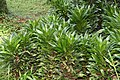 Dracaena deremensis 6zz.jpg