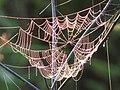 Drooped web (3830508328).jpg