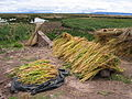 Drying quinoa near Puno.JPG