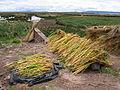 Drying quinoa near Puno.JPG