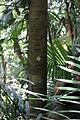 Drypetes longifolia-1.JPG