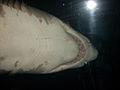 Dubai Aquarium-Shark.jpg
