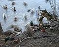 Ducks In Motion Iii (182180049).jpeg