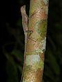 Dusky Earless Agama (Aphaniotis fusca) (8687526975).jpg