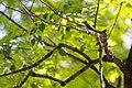 Eastern wood-pewee (43209759190).jpg