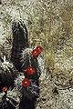 Echinocereus triglochidiatus WPC.jpg