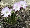 Echinopsis oxygona (7).jpg